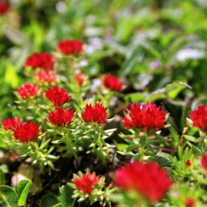 Rhodiola extract – Luosaiwei